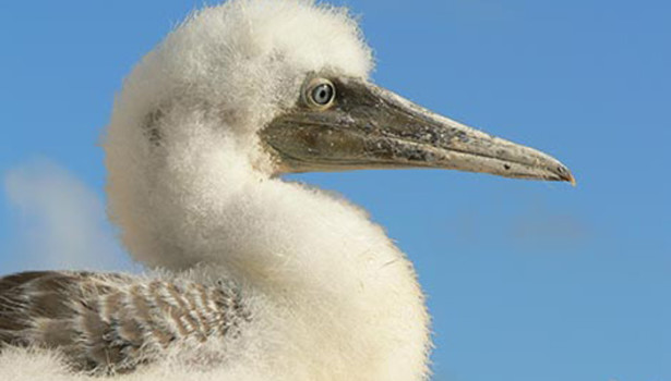 Galapagos Wildlife: Blue footed booby chick © Liz Hall