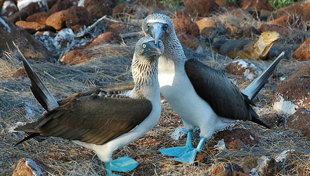 Galapagos Wildlife: Blue footed booby pair © Sally Wellman