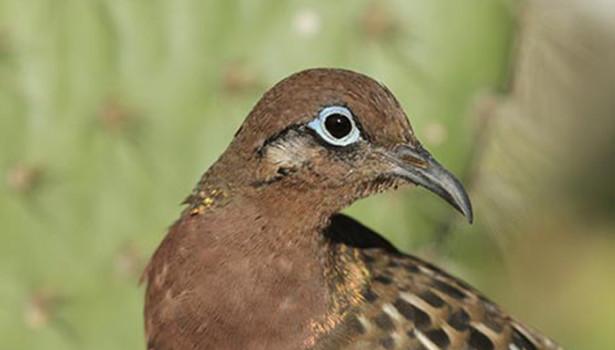 Galapagos Wildlife: Galapagos Dove © Luis Ortiz Catedral