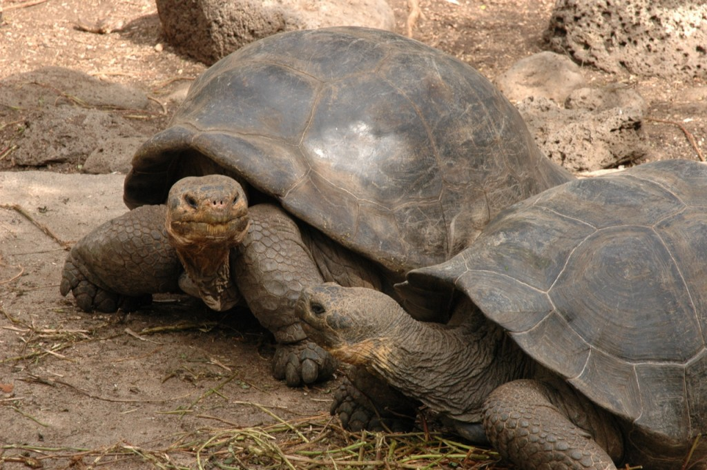 Galapagos Wildlife: Galapagos Tortoises © Caroline Pannell