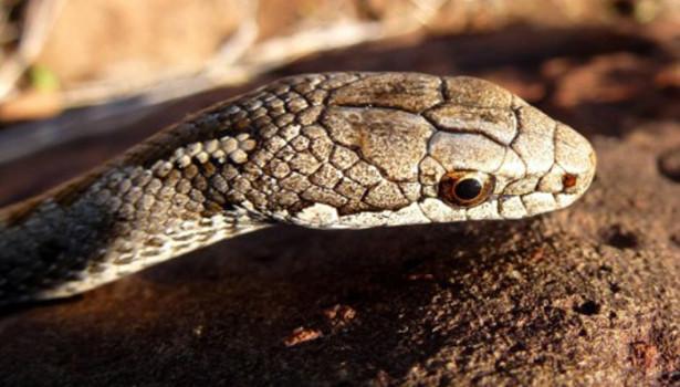 Galapagos Wildlife: Galapagos Banded Snake © Charles Darwin Foundation