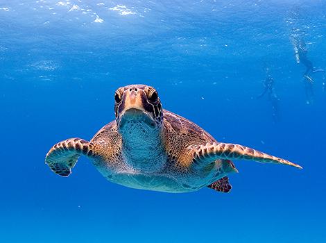 Galapagos Wildlife: Galapagos green turtle © Derek Haslam