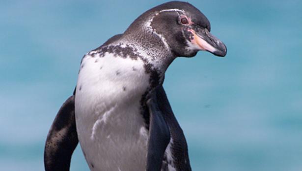 Galapagos Wildlife: Galapagos penguin © Jonathan Green