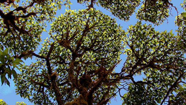 Galapagos Wildlife: Scalesia canopy © Godfrey Merlen