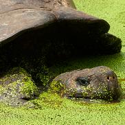 Galapagos Wildlife: Galapagos giant tortoise © Karel de Pauw
