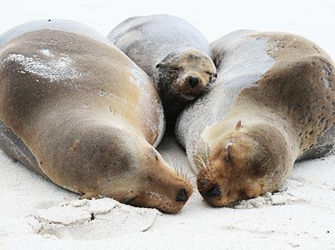 Galapagos Wildlife: Sea Lion family © Robert Silbermann