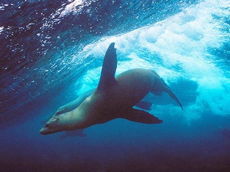Galapagos Wildlife: Surfing Sea Lion © Godfrey Merlen