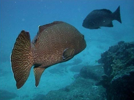 Galapagos Wildlife: Bacalao grouper by a reef © CDF