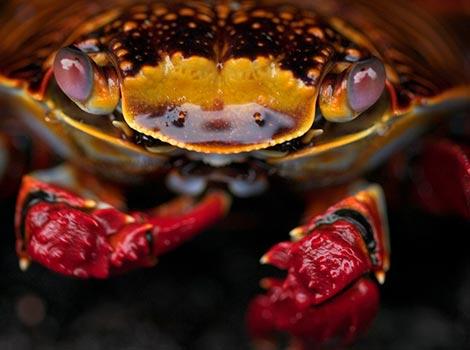 Galapagos Wildlife: Sally Lightfoot crab © Katy Wright