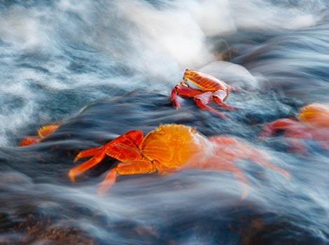 Galapagos Wildlife: Sally lightfoot crabs © Kevin Fraser