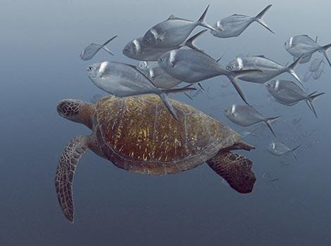 Galapagos Wildlife: Green Turtle © Mark Thomas
