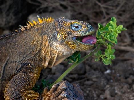 Galapagos Wildlife: Galapagos Land Iguana © Roger Bates