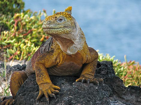 Galapagos Wildlife: Galapagos Land Iguana © Neil Bruce