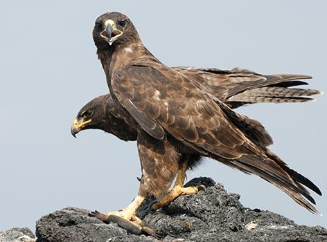 Galapagos Wildlife: Galapagos hawk pair © John Belchamber