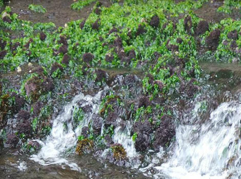 Galapagos Wildlife: Green Sea Lettuce © GCT