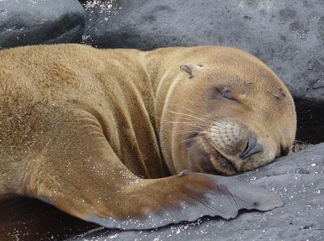 Galapagos Wildlife: Galapagos Fur Seal © Meier