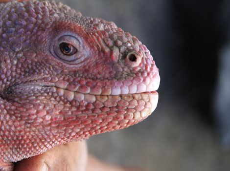 Galapagos Wildlife: Galapagos Pink Iguana © Galapagos National Park