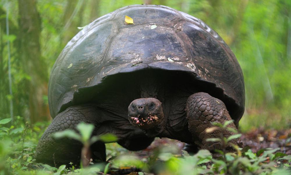 Galapagos Wildlife: Galapagos giant tortoise © Christian Ziegler