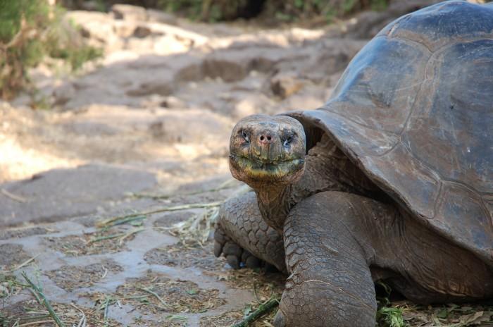 Galapagos Wildlife: Giant Tortoise © Sally Wellman