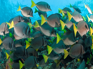 Galapagos Wildlife: Razor surgeonfish © Alice Bartlett