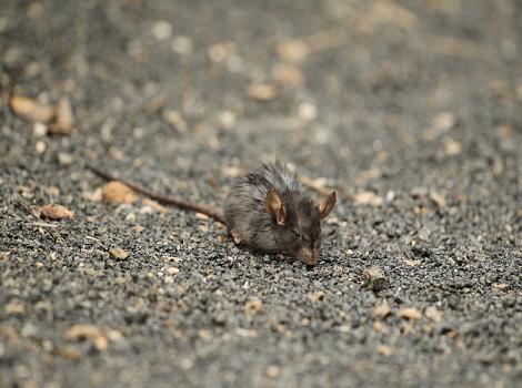 Galapagos Wildlife: Galapagos Rice Rat © Fuller