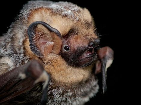 Galapagos Wildlife: Hoary Bat © Daniel Neal
