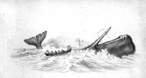 Galapagos Graphics: Painting of the hunting of a sperm whale © William Bradford