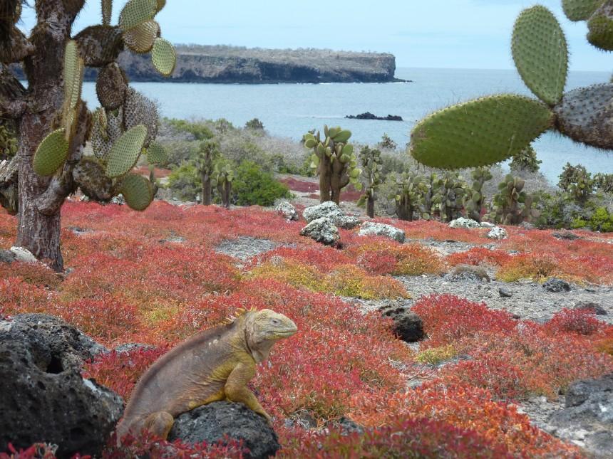 Galapagos Wildlife: Galapagos Land Iguana © Les Lee