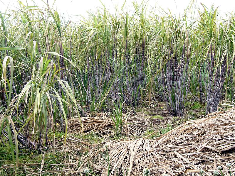 Galapagos Places: A sugar cane plantation