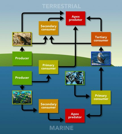 Galapagos Graphics: Food chain diagram © GCT