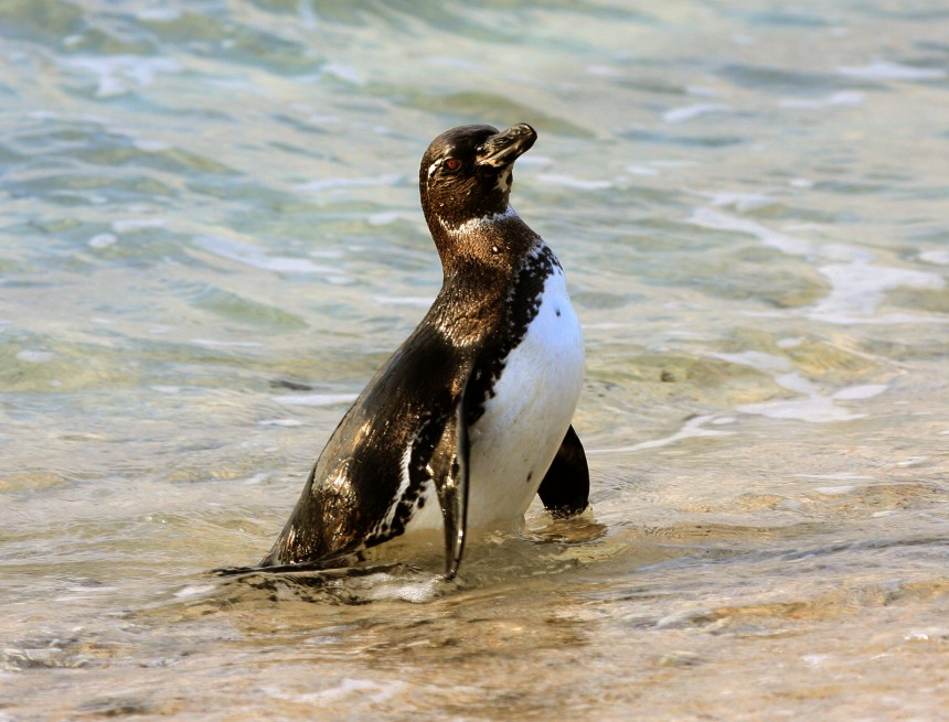 Galapagos Wildlife: Galapagos Penguin © Bill Hale