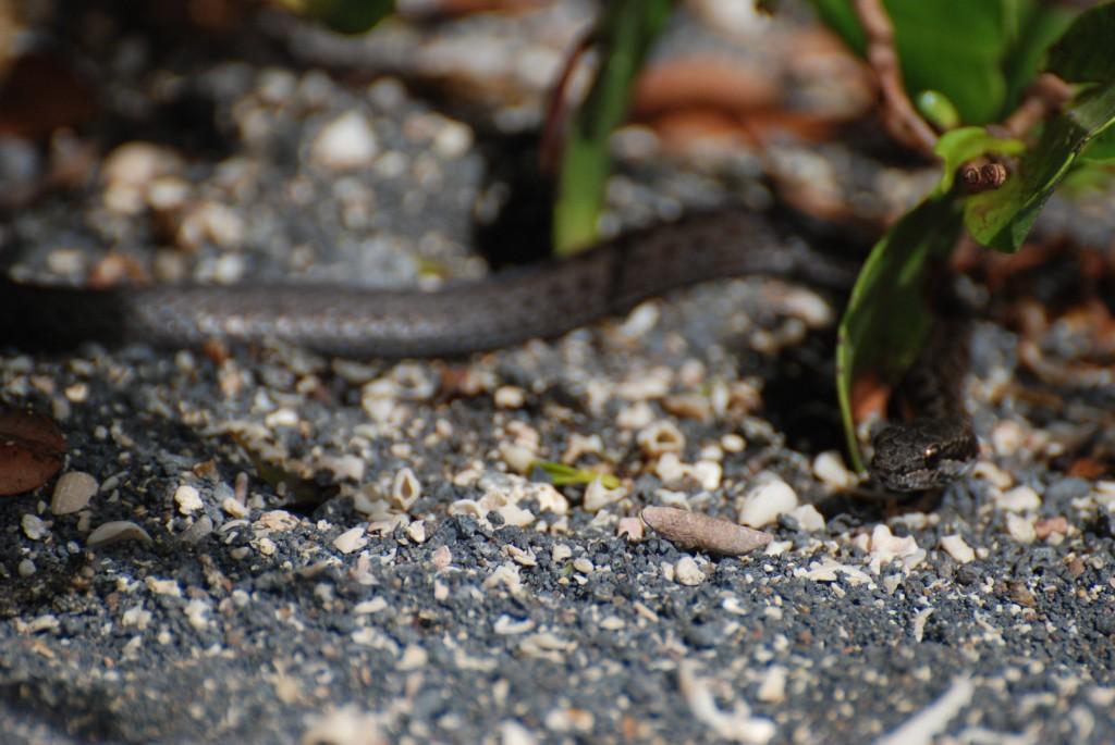 Galapagos Wildlife: Galapagos Banded Snake © Baijul Patel