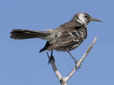 Galapagos Wildlife: Floreana Mockingbird © Paquita Hoeck