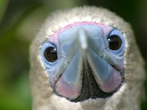 Galapagos Wildlife: Red Footed Booby © Chris Hall