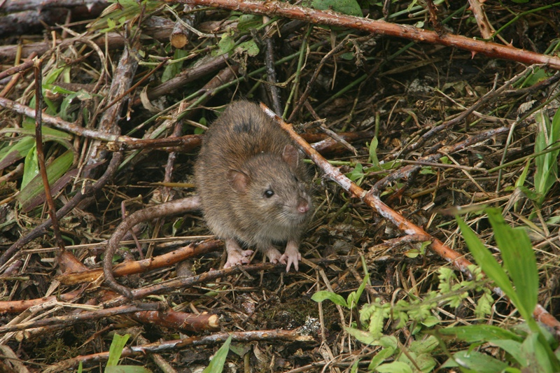 Galapagos Wildlife: Brown Rat © Ian Dunn
