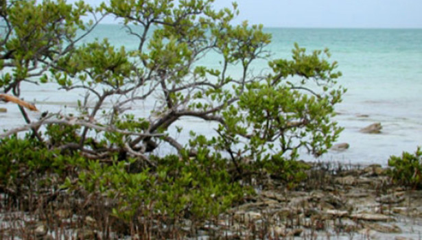 Galapagos Wildlife: Black Mangrove © Florida Museum of Natural History