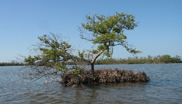 Galapagos Wildlife: Black Mangrove © Wikipedia.org