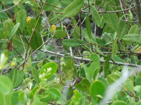 Galapagos Wildlife: White Mangrove © Margaret Dunn
