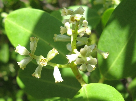 Galapagos Wildlife: White Mangrove flowers © Mason Brock