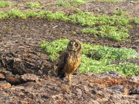 Galapagos Wildlife: Owl © Galapagos Conservation Trust