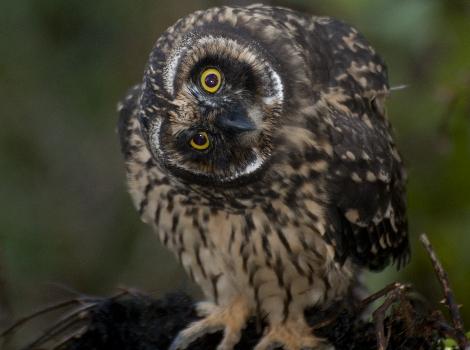 Short-eared Owl ©Godfrey Merlen