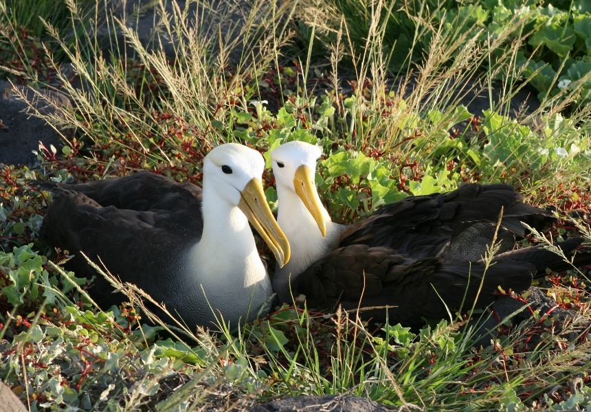Galapagos Wildlife- Waved albatross pair © Robert Silbermann