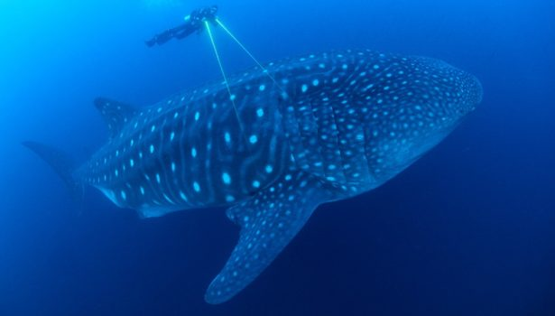Galapagos Wildlife: Whale Shark © Jonathan Green