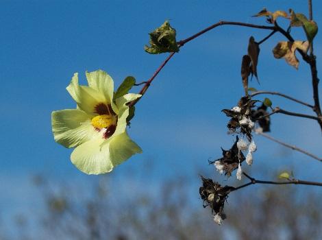 Galapagos cotton flower © Brian Gratwicke