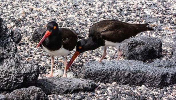Galapagos Wildlife: American Oystercatcher © David Maw