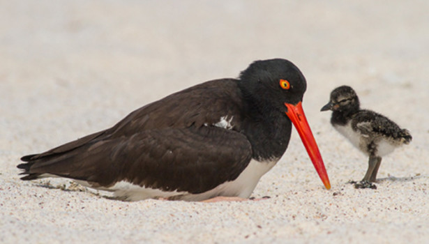 Galapagos Wildlife: American Oystercatcher © Luis Piovani