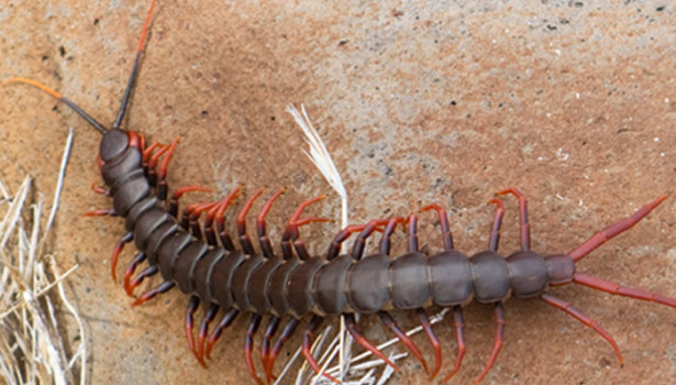 Galapagos Wildlife: Darwin's Goliath Centipede © Janette Schubert