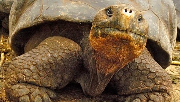 Galapagos Wildlife: Galapagos Giant Tortoise © David Tozer