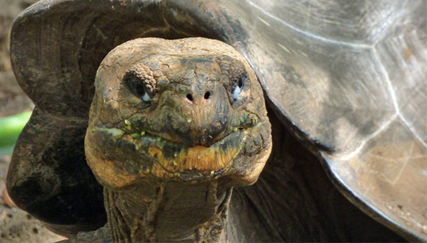 Galapagos Wildlife: Galapagos Giant Tortoise © GCT