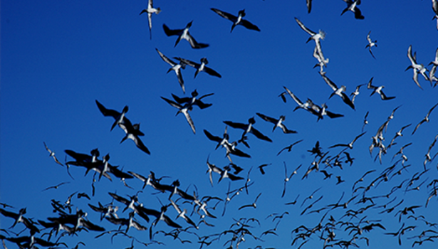 Galapagos Wildlife: Flying boobies © Caroline Pannell